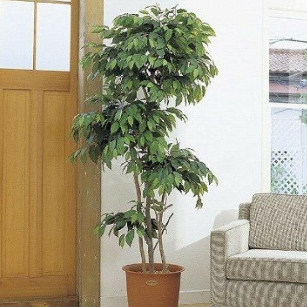 人工観葉植物 ピュアメイト フィカス・ベンジャミン 180cm( 光触媒 消臭 インテリア 大型 ):リビングート