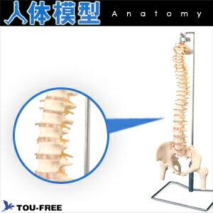 (人体模型)大腿骨付脊髄帯神経整体模型脊柱可動タイプ!