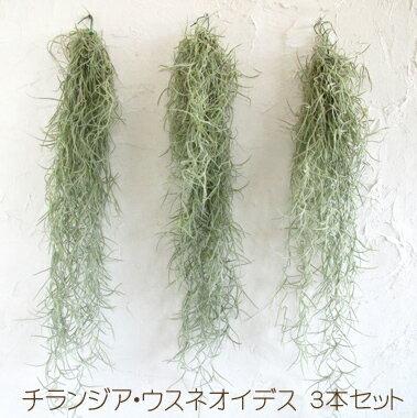 【超希少種!エアープランツ チランジア・ウスネオイデス 3株セット】