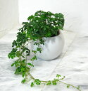 【とっても簡単!白いアクアテラポットのシュガーバイン】【観葉植物】【ギ...