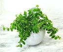 【とっても簡単!白いアクアテラポットのプミラ】【観葉植物】【ギフト】【...