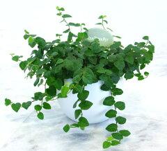 底面給水で水の管理が簡単!清潔!【とっても簡単!白いアクアテラポットの葉っぱが緑色プミラ】