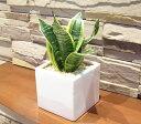 【四角の器の ミニサンスベリア ウォーターサンド植え】【4779】【観葉植物】【多肉植物】【ギフト】【インテリア】