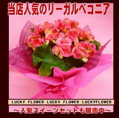 【春限定花鉢】【成人式】【春限定】【花鉢バスケット】花鉢を贈ろう!リーガル ベコニア籠付【送料…