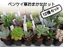 ◇多肉植物◇ベンケイ草おまかせ12種セット◇3cmミニ鉢【送料無料】