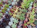 多肉植物 ◇ ベンケイ草 ◇ おまかせ36種 セット ◇3cm ミニ鉢 ◇ 送料無料