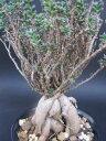 盆栽仕立てのユニークな多肉植物◇トリコディアデマ◇姫紅小松◇3.5寸鉢◇