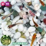 (メダカ) めだか紀州色彩セット 20匹セット + おまけ浮き草付き 送料無料(北海道、沖縄県、東北地方除く) ミックス 浮き草 水草 メダカ 淡水魚