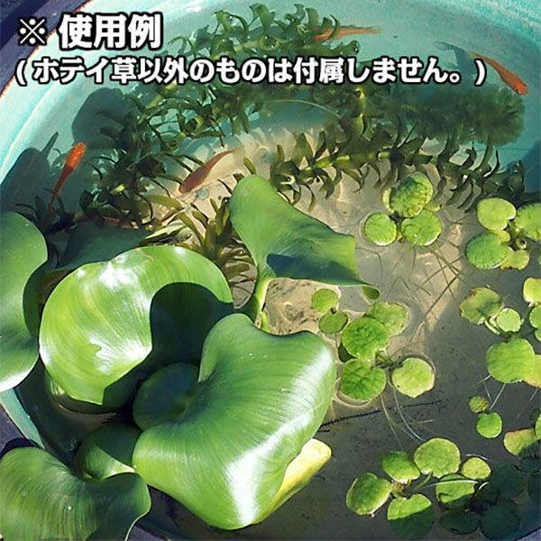 (水草)ホテイアオイ10株セットホテイ草水草浮き草鉢メダカアクアリウム