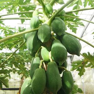 沖縄産青パパイヤ約1kg(1〜3玉)│沖縄野菜パパイヤの実パパイヤ酵素│