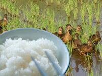 アイガモ農法で育てた有機栽培米【奥越後岩船産コシヒカリ完全無農薬米白米3kg】