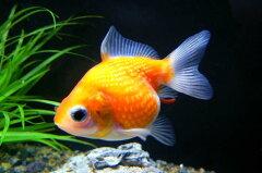 ◆癒し系人気金魚!◆ピンポンパール <3cm前後>