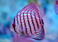 ★美しさ一番!熱帯魚の王様!★ レッドターコイズ ディスカス 《 6〜7cm前後 》