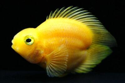 ◆ハート型のLOVE FISH!◆ハートテール パロットファイヤー イエロー 《6cm前後》