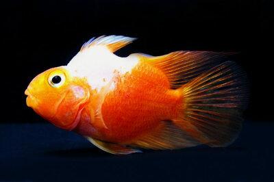 ◆ドリームワールドのお魚!?◆ユニコーン パロットファイヤー  《7cm前後》