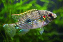 ◆貝を食っちゃぞ!◆アノマロクロミス トーマシー  《2〜3cm前後》
