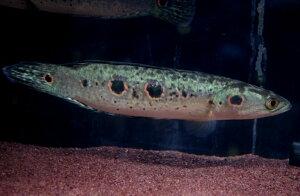 ◆野生採集個体!◆【送料無料】フラワートーマン ワイルド ボルネオ島産 《23~25cm前後》