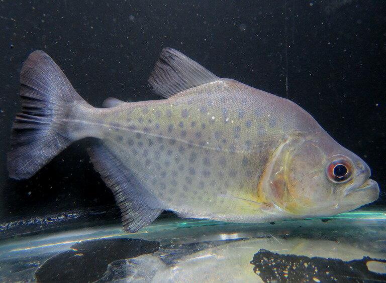 【送料無料】 ブラックピラニア (ブラジル ネグロ河水系 イガラッペ ZAMULA産)C個体《13cm前後》