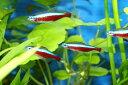 ★熱帯魚No.1★カージナルテトラ (10匹セット) S?Mサイズ