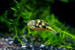 ◆世界最小淡水フグ◆アベニーパファー  3匹セット【WL7-4】