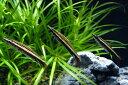 エクエスペンシルフィッシュ(ナノストムス エクエス) ワイルド 《4cm前後》 3匹セット