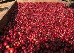 \今月のお勧めコーヒー!/ハニー製法が生み出すカスタードクリームの様な甘味!ニカラグアレッド ハニーモンテクリスト農園【500gパック】