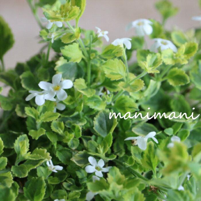 斑入りバコパ ライムバリエガータ「 エンジェルリング」2.5〜3寸ポット苗 花苗 苗 寄せ植え リース