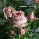 ミニバラ パティオローズ・ヴィジョン「サラマンダー」3.5寸ポット苗 薔薇 花苗 アンティーク シック
