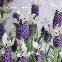 フレンチラベンダー 「ティアラ・サファイア」3寸〜3.5寸ポット苗 寄せ植え 庭植え 花苗 苗
