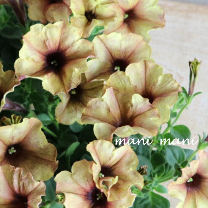 ペチュニア モンローウォーク「シルキーラテ」3.5寸ポット苗 寄せ植え リース 花壇 ハンギング