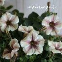 【最新品種】ペチュニア モンローウォーク「ベールヴァルド」3.5寸ポット苗 寄せ植え リース 花壇 ハンギング