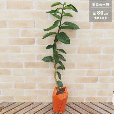 果樹苗 柑橘類 苗木 清見オレンジ (清見タンゴール) 1年生接ぎ木 4.5号(直径13.5cm) ポット苗 果樹苗木 常緑樹 雑柑