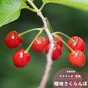 さくらんぼ 桜桃