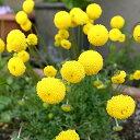 黄色いポンポン【コツラ バルバータ 】10.5cmポット苗