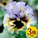 パンジー フリル咲きフリズルシズルイエローブルースワールフリル咲きポット苗3個セットパンジー ビオラ すみれ 苗 寄せ植え