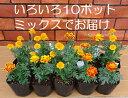 ビニールハウス一掃セール!花壇苗の定番!マリーゴールドが10ポットで798円いっぱい植えてこそ...