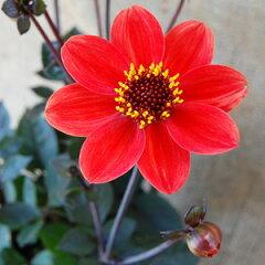 毎年開花の宿根タイプのダリアダリア ハミングブロンズ ブルックフィールドデライト 1株