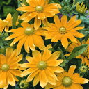 暑さに強く多花性宿根草 【 ルドベキア プレーリーサン 】1株