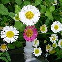 小花でカワイイスパニッシュデイジー(エリゲロン) 1株
