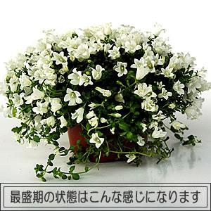 グランドカバー 広がる 鉢植 地植白い小花が一面覆いつくします宿根草【ワーレンベルギア ス...