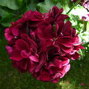 赤黒系の八重咲き栄養系アイビーゼラニューム トミー 1株