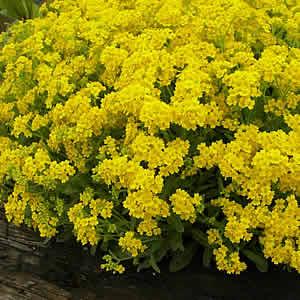 黄色いアリッサム サミット 1株宿根草 花苗 春花壇 寄せ植え イングリッシュガーデン