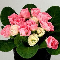 楽天1位宿根草 バラ咲き プリムラ ジュリアン いちごのミルフィーユ 1株