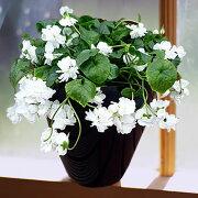 八重咲き ニオイスミレ フレグランス ガーデニング