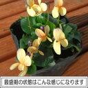 楽天1位ニオイスミレ (においすみれ)一重咲き イエロー(オレンジ)1株香り フレグランス ガーデニング 花苗 寄せ植えに