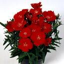 株いっぱいに花が咲く!宿根草 2年物【 ダイアンサス ダイアナ スカーレット 】1株