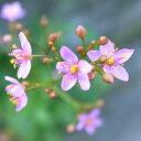 野に咲く小さなピンクのお花星のしずく(三時草) 1株