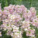 ほのかに甘い香り♪自然にふんわりと仕上がります宿根草 【 ネメシア ポエトリー ラベンダーピ...