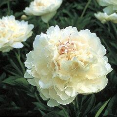 期間限定・緊急値下げセール芍薬 ラ・テンドール スリット6号ロング鉢植え