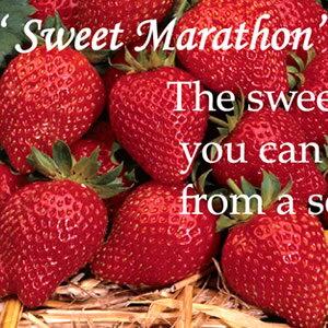 上手く行けば年中収穫四季成りイチゴ F1スウィートマラソン 10.5cmポット苗